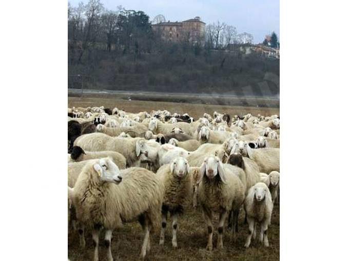 Ottocento pecore al pascolo nei pressi del castello di Pralormo 1