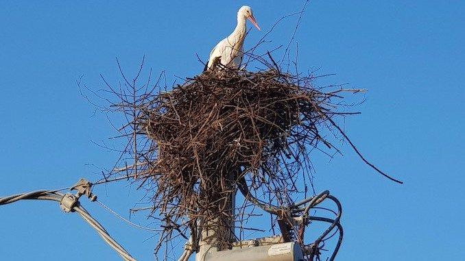 Racconigi: i tecnici di e-distribuzione salvano un nido di cicogne 1
