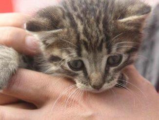 Alba: gattino salvato dai pompieri in corso Cortemilia