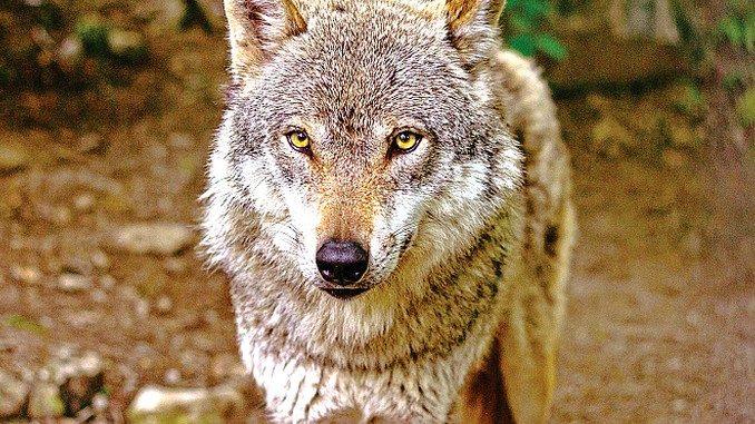 I lupi stanno scendendo in collina e nelle aree di pianura 1