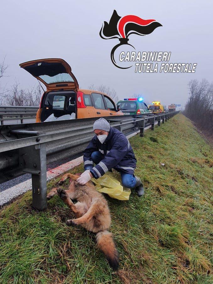 I Carabinieri forestali recuperano la carcassa di un lupo sulla tangenziale 1