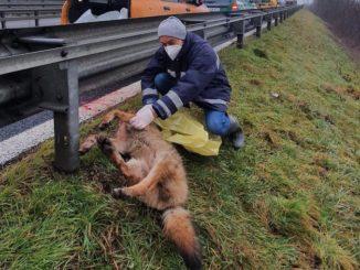 I Carabinieri forestali recuperano la carcassa di un lupo sulla tangenziale