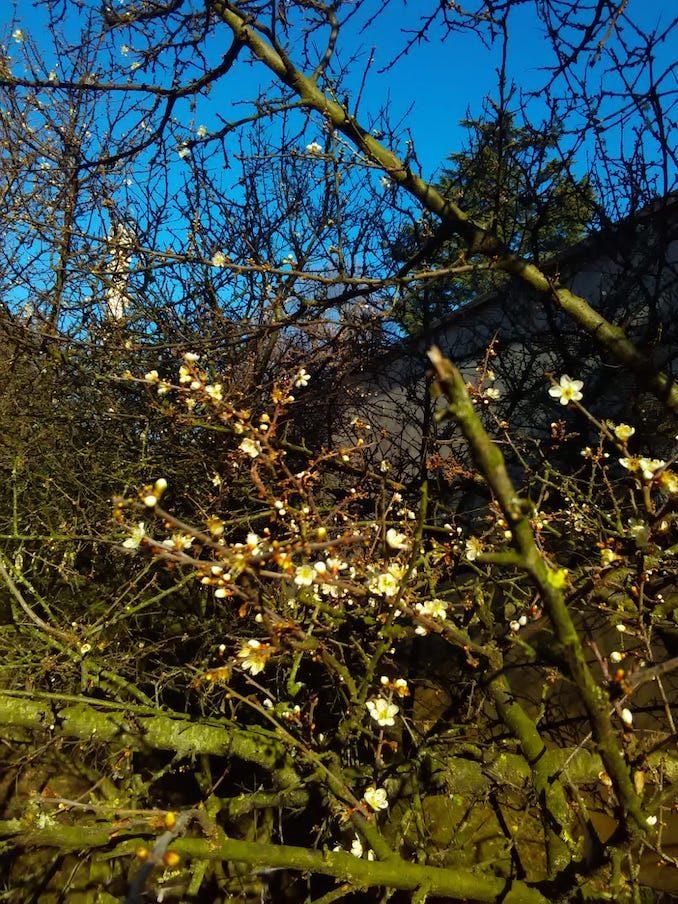 Bra: continua la fioritura del pruneto del santuario 1