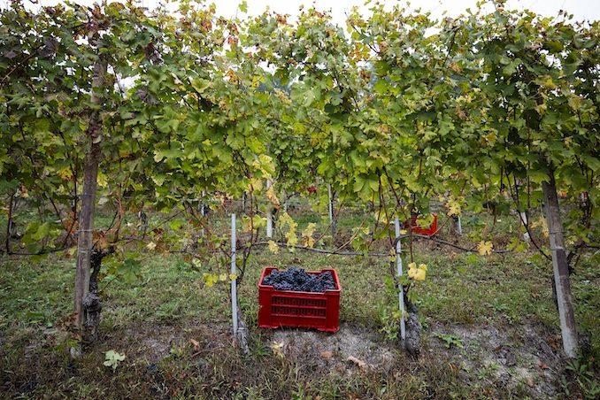 Alba: dopo il progetto pilota albese, l'associazione nazionale Città del vino porta la vendemmia turistica nei territori enologici italiani 1