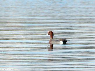Concluso il censimento degli uccelli acquatici nel Parco del Monviso