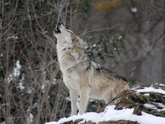 Pragelato 'sul lupo serve equilibrio, coinvolgere sindaci'
