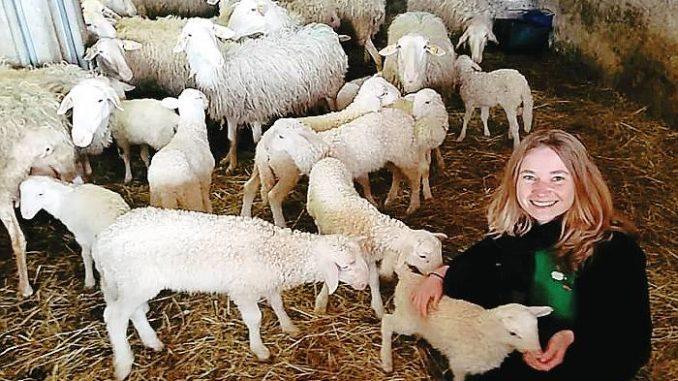 In alta Langa le pecore si possono adottare