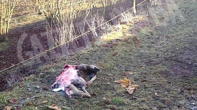 Capra trovate sbranate in frazione San Michele di Bra: avvistati due esemplari di lupo
