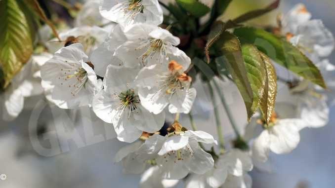 Allarme da Coldiretti: il gelo danneggia i fiori nei fruteti