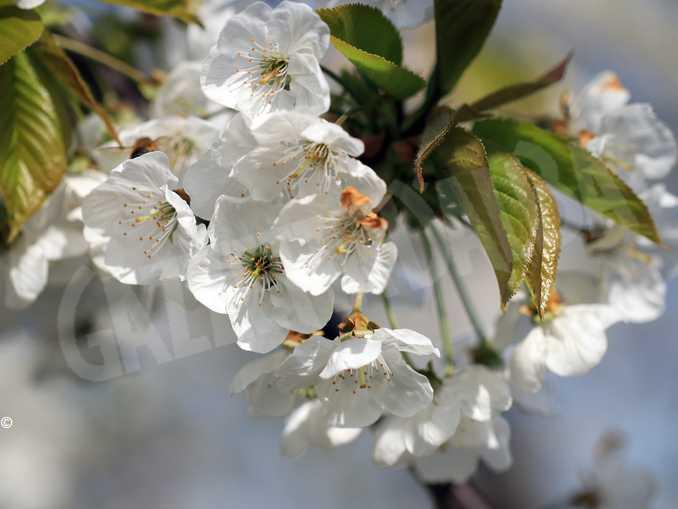 ciliegio fiore