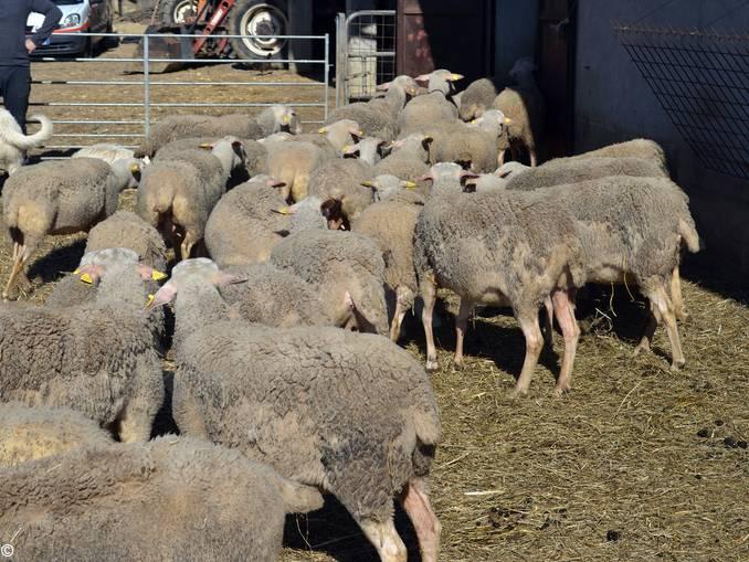 pecore niella belbo 1