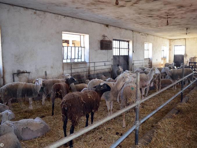 pecore niella belbo