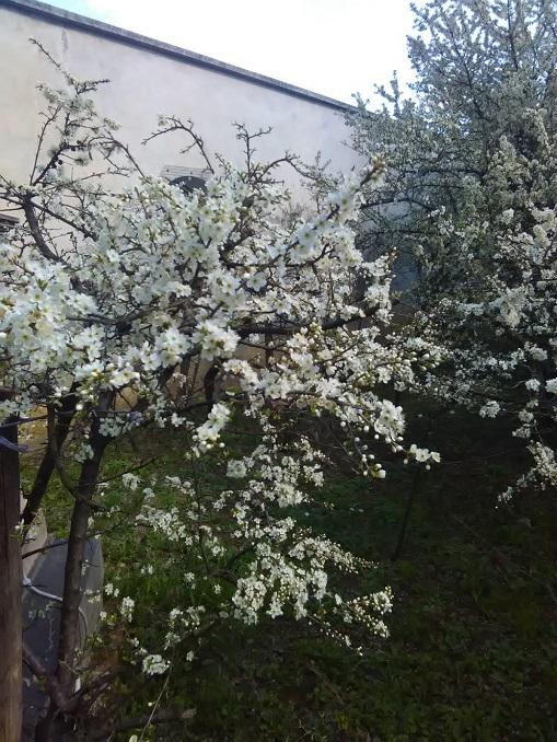 Fioritura del pruneto della Madonna dei fiori a Bra 3