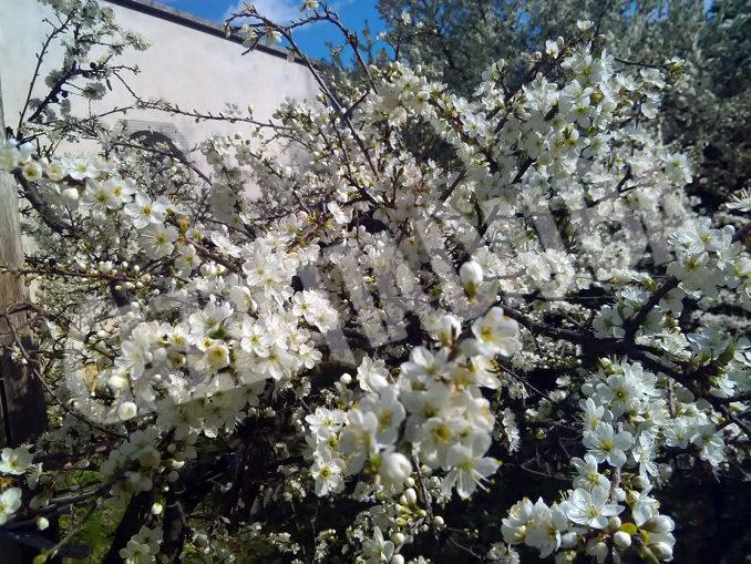 Fioritura del pruneto della Madonna dei fiori a Bra