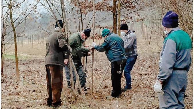 I trifolao hanno piantato oltre 220 pioppi nelle aree tartufigene roerine