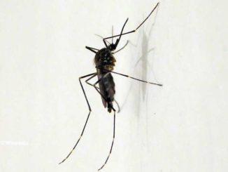 La zanzara coreana si diffonde: larve trovate nell'Astigiano