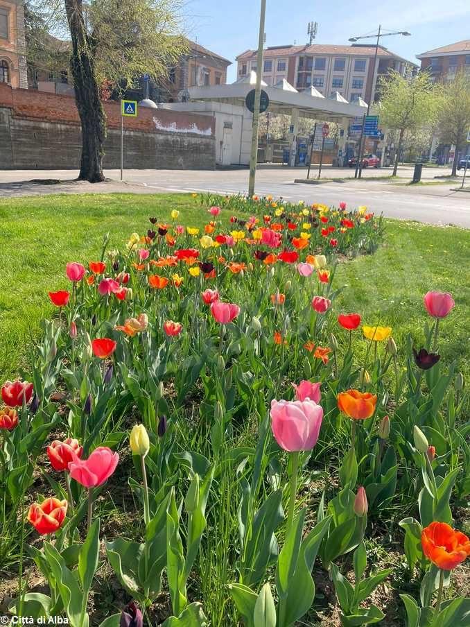 Aiuole albesi in fiore grazie agli oltre 3mila bulbi donati da Messer tulipano di Pralormo