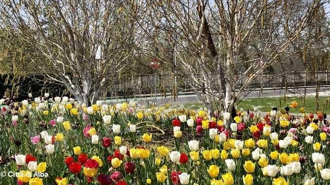 Aiuole albesi in fiore grazie agli oltre 3mila bulbi donati da Messer tulipano di Pralormo 1