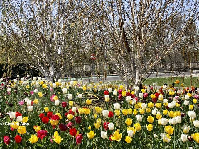Alba fioritura messer tulipano2