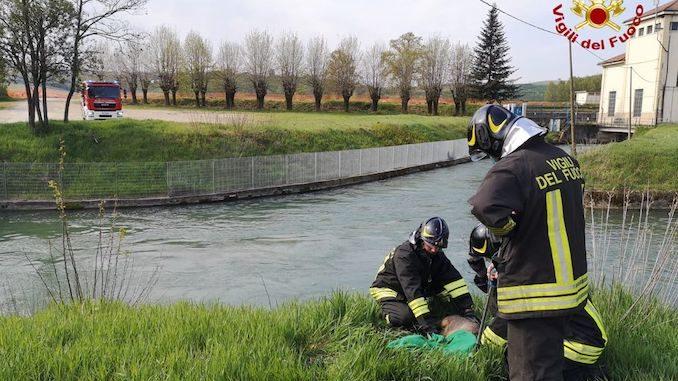 Roddi: salvato dai pompieri un capriolo caduto nel canale