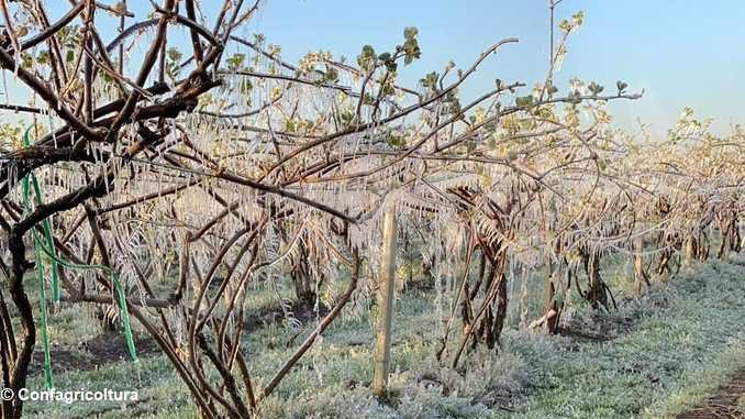 L'ondata di gelo causa gravi danni gravi a frutta, vite e nocciolo 1