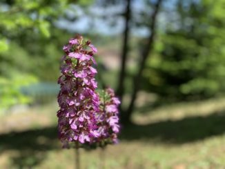 Il Comune si occuperà di evitare il declino delle orchidee spontanee presenti nella zona
