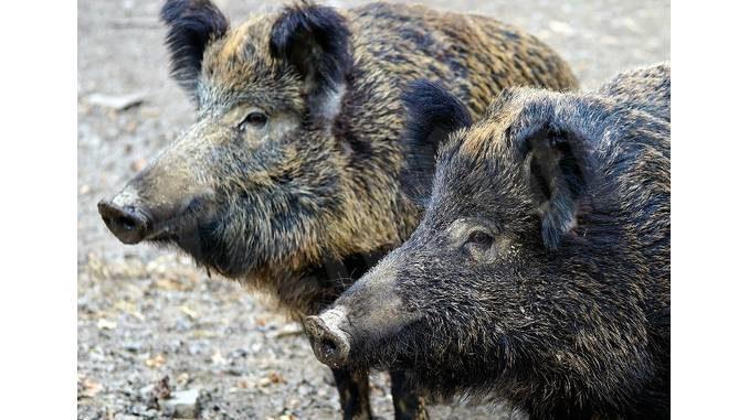 Agricoltori roerini esasperati per i danni causati dai cinghiali