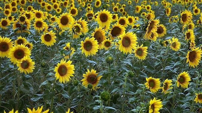 Farigliano vuole abbellire i campi e giardini piantando girasoli