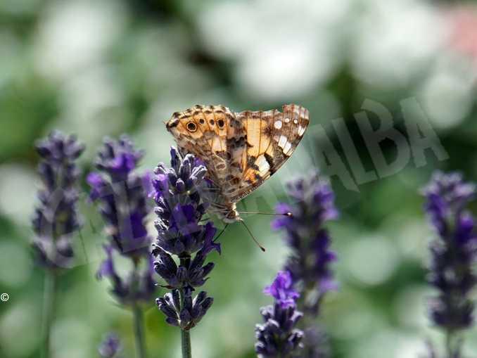 biodiversita farfalla fiore