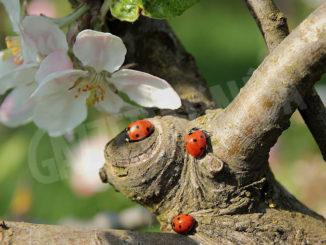 Liberate 6.000 coccinelle per la difesa biologica integrata di alberi e piante