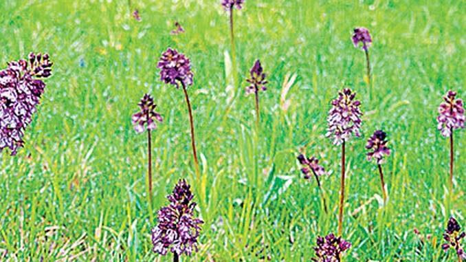 L'Amministrazione e i cittadini di Arguello diventano custodi delle orchidee