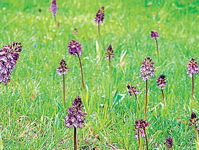 orchidee arguello