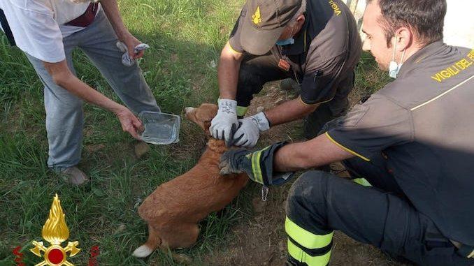 Asti: i Vigili del fuoco salvano un cagnolino incastrato in un canale