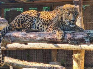 Al parco safari di Murazzano sono arrivati due leopardi e quattro tigri