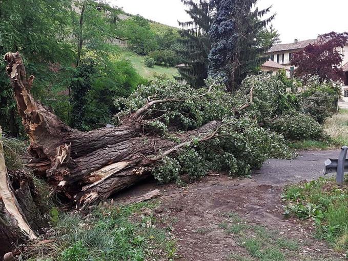 albero caduto a San Rocco Seno d'Elvio(2)