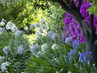 Villa della Pergola ad Alassio, dove in estate fiorisce l'agapanto 1