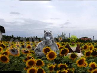 Tra i campi di girasole a Farigliano sono arrivati Shrek e Ciuchino