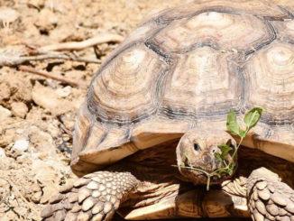 Oggi e domani a Murazzano i bambini si possono prendere cura delle tartarughe giganti