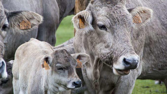 Per il Wwf, gli allevamenti intensivi hanno un notevole impatto sul cambiamento climatico