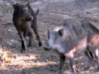 Filmato un branco di cinghiali in un noccioleto a Manera