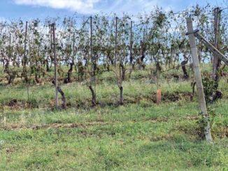 Grandine sul Roero: la parola e viticoltori e frutticoltori per la stima dei danni