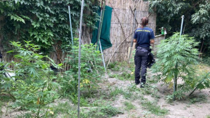 Piantagione di marijuana in pieno campo smantellata dalle fiamme gialle di Asti