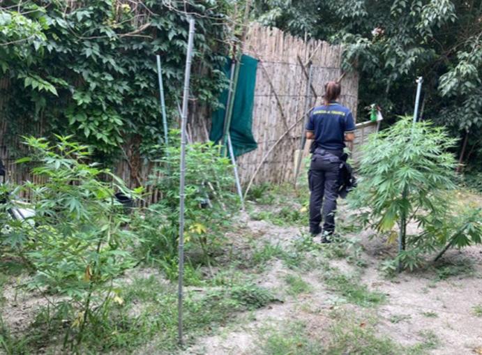 Piantagione di marijuana Tonco