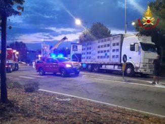 Fossano: un camion carico di maiali si rovescia alla rotonda di via Cuneo