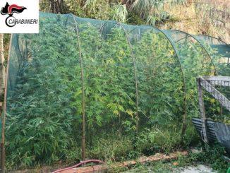 Coltivava marijuana nel cortile di casa: arrestato un elettricista di Quarto Inferiore
