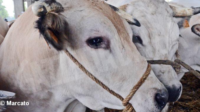 Il grido di dolore degli allevatori: «Il vitello piemontese non è pagato il giusto, almeno 4 euro al chilo»