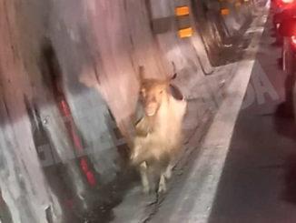 Sulla A10 gli automobilisti in coda incontrano una capra