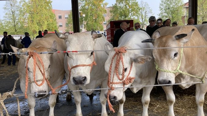 Alba: premiati i vincitori della grande rassegna di bovini piemontesi