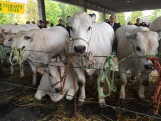 Alba: Grande rassegna di bovini piemontesi giovedì 14 ottobre dalle ore 9.30 in piazza Prunotto 1