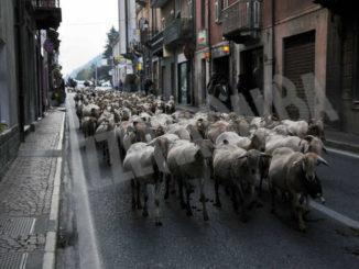 Transumanza e mungitura delle vacche alla festa di Garessio